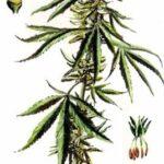 Marihuana Mythen, Marihuana Fakten: Eine 15-teiligen Serie
