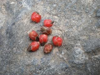 Ephedra Früchte