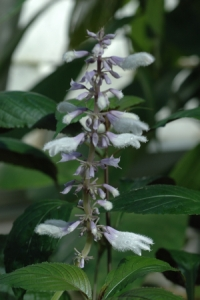 Salvia divinorum species from Oaxaca (Mexico). Photographed at the Conservatory of Flowers in San Francisco